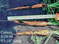 Imperator carrots