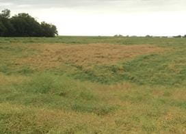 Clubroot patch with above-ground symptoms