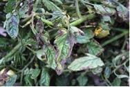 Symptoms of late blight
