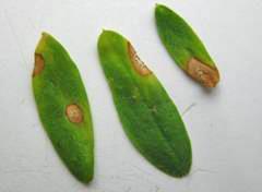 Ascochyta on lentil leaflets