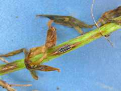 Anthracnose on lentil stem