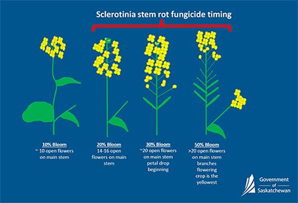Sclerotinia stem rot infographic
