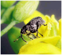 adult cabbage seedpod weevil on canola