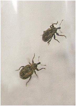 Adult alfalfa weevils