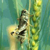 Adult migratory grasshopper