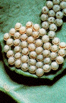 Bertha armyworm eggs