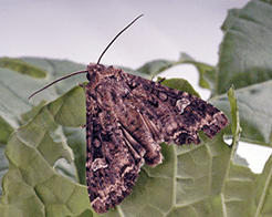 Adult Bertha armyworm moth