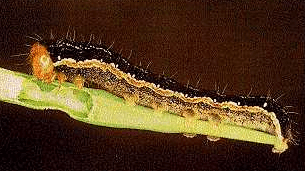 Mature bertha armyworm larvae