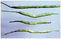 Normal and damaged canola pods
