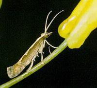 Adult diamondback moth
