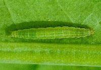 Diamondback moth larva