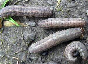 dingy cutworm