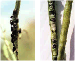New generation weevil adults