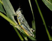 Packard grasshopper