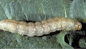 pale western cutworm