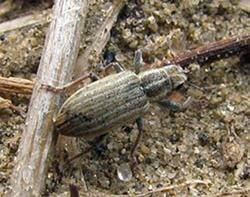Adult pea leaf weevil