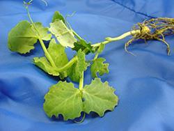 Notch feeding by adult pea leaf weevil on leaf edges