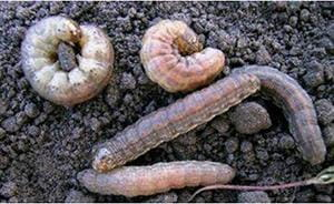 Red-backed cutworm