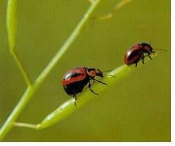 Adult red turnip beetles