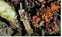 Red turnip beetle egg cluster