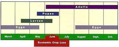 Red turnip beetle life cycle