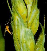 Wheat midge on wheat spikelets
