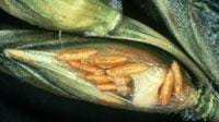 Midge larvae causing kernel damage
