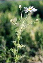 Scentless chamomile