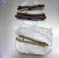 Example of good elm branch sample for dutch elm disease testing