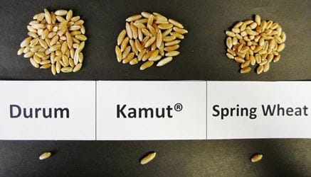 KAMUT, durum and spring wheat comparison