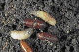 Maggot larva and pupae