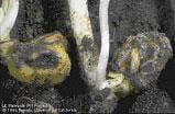 Maggots on seedlings