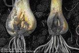 Onion maggot damage to bulbs