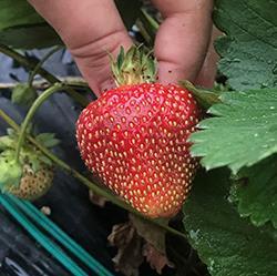 Seascape day-neutral strawberry