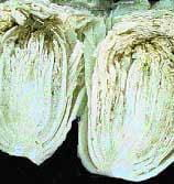Tipburn on Chinese cabbage head