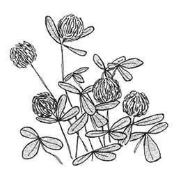 White dutch clover