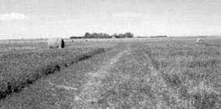 Alfalfa paddock
