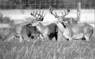 Deer in Smooth Bromegrass in an alfalfa/grass paddock