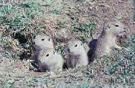 Richardson's ground squirrels