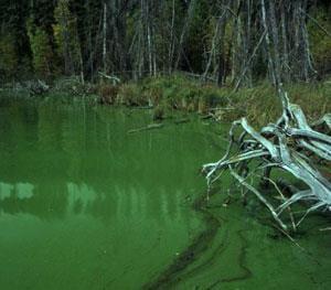 Blue-green algae