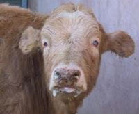 Cow with corneal opacity, salivation, encrusted muzzle