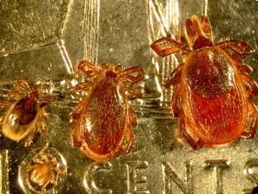 Black-legged ticks all stages on the dime