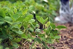 Soybean Production In Saskatchewan Pulse Crops Bean Chickpea