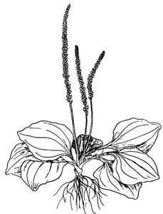 Plantain Leaf Drawing