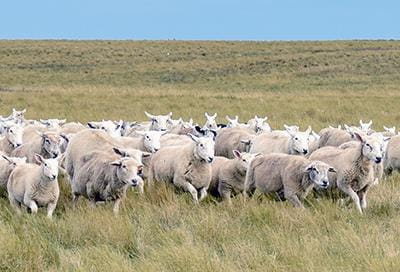 Grazing Management for Sheep Production | Sheep and Goats