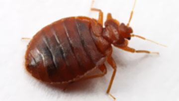 Bedbugs Environmental Health Government Of Saskatchewan