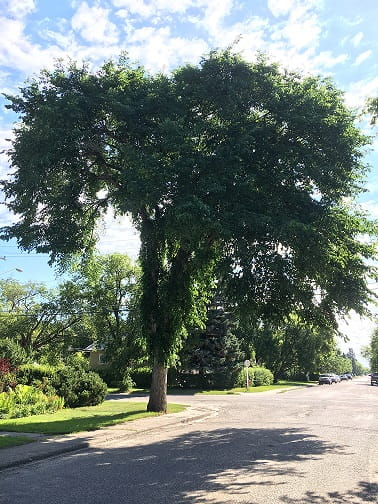 Protect Your Elm Trees Dont Prune From April 1 To August 31 News