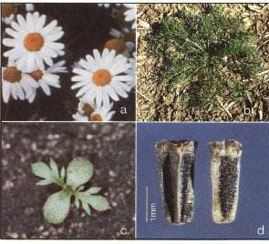 Plants that may be confused with scentless chamomile