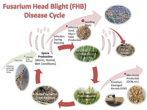 Fusarium Head Blight Disease Cycle Chart