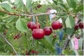 Dwarf sour cherries